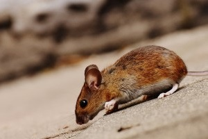 Mouse extermination, Pest Control in Rotherhithe, South Bermondsey, Surrey Docks, SE16. Call Now 020 8166 9746