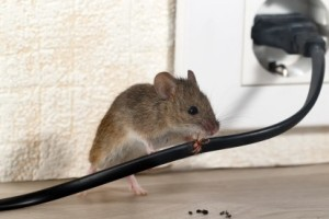 Mice Control, Pest Control in Rotherhithe, South Bermondsey, Surrey Docks, SE16. Call Now 020 8166 9746