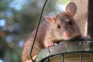 Rat Control, Pest Control in Rotherhithe, South Bermondsey, Surrey Docks, SE16. Call Now 020 8166 9746