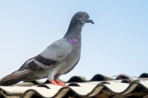 Pigeon Pest, Pest Control in Rotherhithe, South Bermondsey, Surrey Docks, SE16. Call Now 020 8166 9746